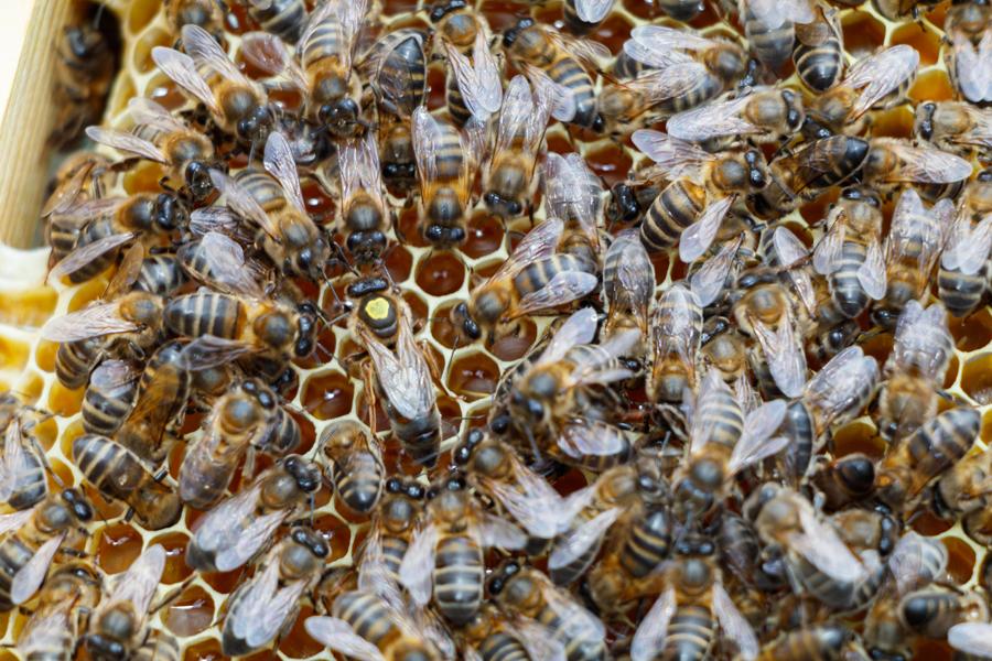 Markierung der Bienenkönigin (gelb)